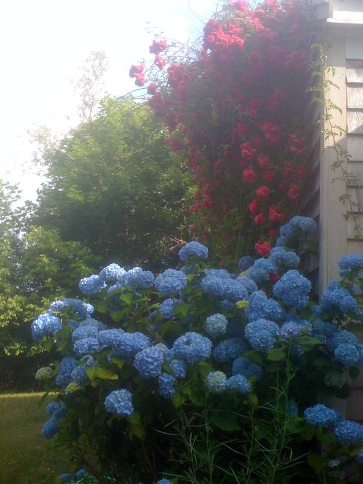 hydrangeas-and-roses