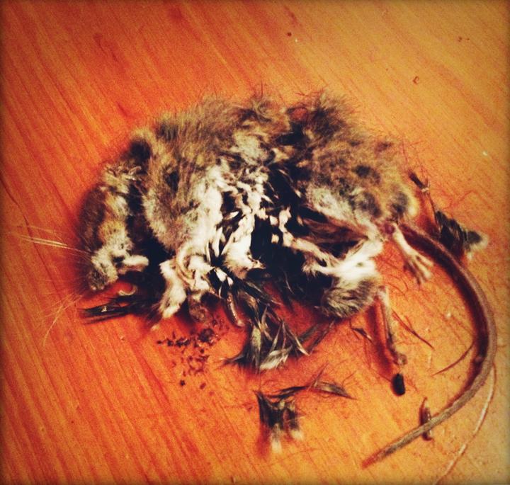 mouse-rat